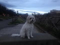 Icey... my little dog ❤️🐶❤️ (ilirjacellari) Tags: dogs littledog