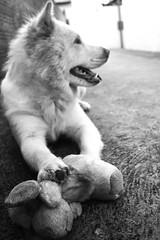 Finado pelúcia (Rapha777) Tags: chowchow chow urso pelúcia assassinato morte cachorro