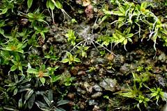 Harvestman (Bugldy99) Tags: nature outdoors animal arthropod arthropoda arachnid arachnida opiliones harvestman daddylonglegs
