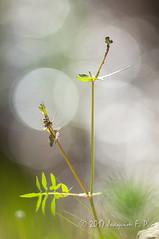 Flora (Joaquim F. P.) Tags: catalunya parcdelatorredendolça joaquimfp botánica spain flora afnikkor300mmf4ifed vilaseca tarragona nikon nikkor lens bokeh old vintage