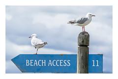 46/100: To the beach (judi may) Tags: 100xthe2017edition 100x2017 image46100 rabbitisland newzealand gulls birds beachaccess clouds cloudysky sky canon7d post blue