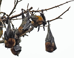 Grey-headed flying foxes (Jeff_Warner) Tags: em1markii flyingfox oly300mmf4 geelong victoriaaust