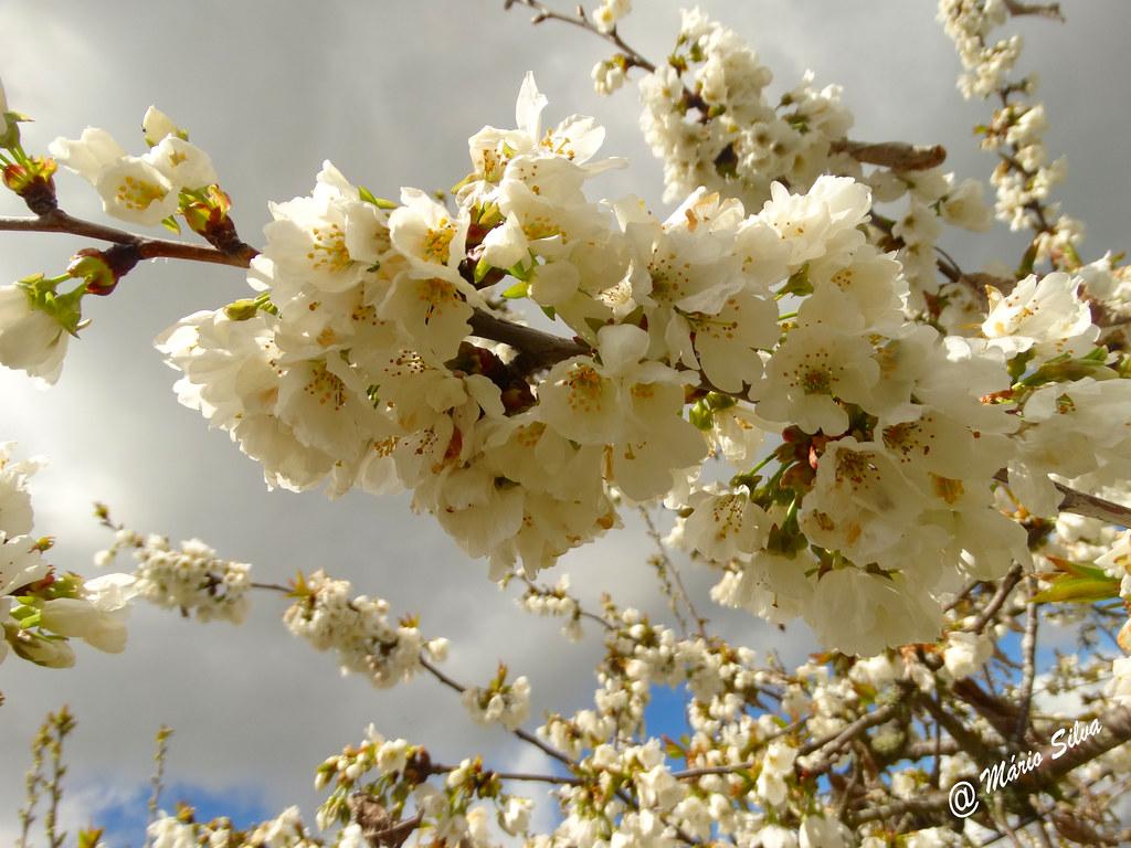 Águas Frias (Chaves) - ...flores de cerdeira (cerejeira) ...