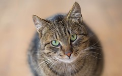 kittens (41) (Vlado Ferenčić) Tags: cats catsdogs kitty kittens animals animalplanet zagorje hrvatska hrvatskozagorje croatia nikond600 sigma15028macro vladoferencic