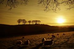 Old Man (EmPhoto.) Tags: exmoor sunrise luccombe nationalpark landscapepassion emmiejgee sheep sonya7r canon24105mm uk oldman neilyoung