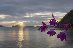 Dreamy (Arne Kuilman) Tags: philippines filipijnen palawan elnido beach strand olympus em10 holiday vakantie flower bloem sunset tropical zonsondergang bloemen