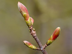 Sycamore Buds (rustyruth1959) Tags: nikon nikond3200 sigma105mmmacro home yorkshire ripponden outdoor greenfly branch tree twig bud leaf sycamore insects sycamorebud growth spring gettyimages