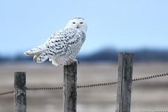 _DSC3506 (barrypphotos) Tags: snowy owl alberta eastern perching fence rural nikon d500