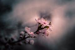 Take me home (hploeckl) Tags: pentaconav2880 bokeh blossom blossoms spring dark melancholic moody mood reduced nikon d750 diaplan meyergörlitz sad dramatic artistic art painterly