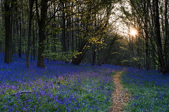 a wander through the bluebells (Emma Varley) Tags: bluebells woods forest spring uk eartham westsussex sunburst path laves