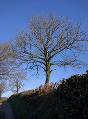 Under the ivy (Rob Hall -) Tags: tree sky ivy countryside nature sunshine sunlight sunlit blue green devon bushes lane