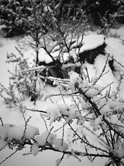 """""""Fresh Snow"""" An unexpected Spring snow in the highlands of Central New Mexico, brings a freshness to the air and beauty to the countryside. Cold Temperature Snow Nature Weather Frozen Fragility Blackandwhite Black & White Blackandwhite Photography Springs (bradhodges09) Tags: coldtemperature snow nature weather frozen fragility blackandwhite blackwhite blackandwhitephotography springsnow snowstorm newmexicophotography newmexico cold closeup"""