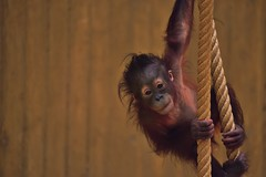 Orangutan gym (ZieZoFoto.com Off line for a while) Tags: orangutan gym zoo dierentuin ouwehands dierenpark baby april