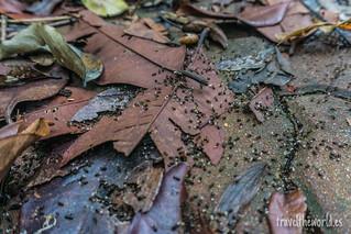 Selva hormigas