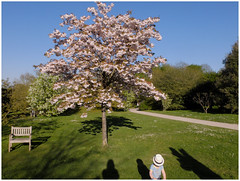Oh , I belive in yesterday ... (michelle@c) Tags: springtime garden cherrytree blossom boyonbike hat yesterday thebeatles arboretum chatenaymalabry 2017 michellecourteau