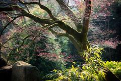 Peace (h_cowell) Tags: biddulphgrange garden tree trees light sun sunshine leaves backlit foliage nationaltrust staffordshire lumix panasonic gx7 spring