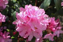 Rhododendron Blossom (Eddie Crutchley) Tags: europe england cheshire outdoor nature beauty gardens rhododendron blossom sunlight simplysuperb greatphotographers