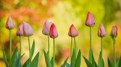 Couldn't Resist ;) (paulapics2) Tags: tulip plant garden macro printemps frühling spring depthoffield bokeh canonef70300mm canoneos5dmarkiii fleur blumen bulbs perennial colourful flora floral lilyfamily bright pinks