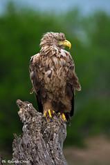 Aquila di mare _015 (Rolando CRINITI) Tags: aquila aquiladimare uccelli uccello birds ornitologia periprava ultimafrontiera deltadeldanubio romania tulcea