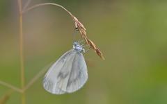 Wood White (Leptidea sinapis). (Bob Eade) Tags: butterflies woodwhite lepidoptera white chiddingfold surrey woodland wildlife nature nikond610 macro bokeh