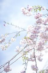 SAKURA (ai3310X) Tags: none supertakumar 50mmf14 枝垂桜 昭和記念公園