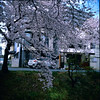 5 (EH500) Tags: 日本 東京 深谷 下台池公園 japan ふかやし fukayashi sakura film rvp50 桜 櫻花 底片 膠卷 120 cherry blossom nikoncoolscan nikoncoolscanls9000ed coolscan9000ed hasselblad 503cx 哈蘇 銀鹽 slr fuji 富士 rvp color fujichrome velvia fujichromevelvia slide 正片