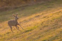 brocard en course (photopierrot44) Tags: chevreuil brocard cervidé animaux alsace animal sauvage nikon nature faune