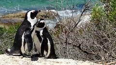 SIMON'S TOWN, SOUTH AFRICA (pwitterholt) Tags: africa afrika southafrica zuidafrika kaapsschiereiland simonstown indianocean indischeoceaan kust beach africanpenguin afrikaansepinguin pinguin sony sonycybershot sonyhx400 couple koppel stel paar duo