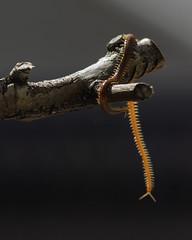 (tondy2) Tags: escolopendra cienpiés chilopoda