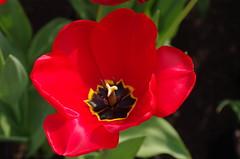 Tulip (caro-jon-son) Tags: eden