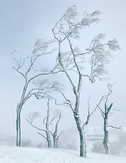 Winter Wonderland (Aerindad) Tags: niseko topofthemountain snowstorm snow winter ski hirafu trees