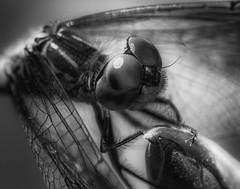 DragonFly_SAF9641-2 (sara97) Tags: copyright©2016saraannefinke dragonfly flyinginsect insect missouri mosquitohawk nature odonata outdoors photobysaraannefinke predator saintlouis towergrovepark urbanpark bw blackandwhite blackwhite