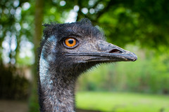 Emu (Mathias Appel) Tags: emu dromaius novaehollandiae australia mate bird vogel tier animal nature natur bokeh augen eyes large gros black blue orange schwarz blau portrait zoo tierpark nikon deutschland germany d7100 70200 émeu daustralie emuo