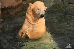 Erlebniszoo Hannver 15.04.2017 103 (Fruehlingsstern) Tags: eisbären polarbear sprinter melana elefanten seelöwen weiskopfseeadler yukonbay erlebniszoohannover hannover canoneos750 tamron16300 zoo