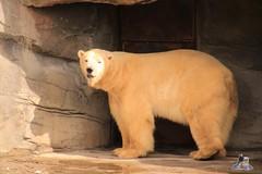 Erlebniszoo Hannver 15.04.2017 095 (Fruehlingsstern) Tags: eisbären polarbear sprinter melana elefanten seelöwen weiskopfseeadler yukonbay erlebniszoohannover hannover canoneos750 tamron16300 zoo