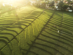DJI_0691 (matsandersen) Tags: rice ricefields bali canggu dji mavic pro sunrise shortcut goldenhour