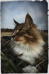 The return of the King.. (FINDUSFELIX) Tags: findus forest cat kitty katze kat katte pets pet portrait closeup norwegianforestcat skovkat norskskovkat