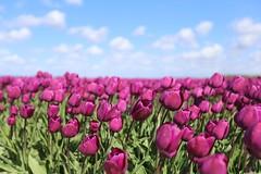 Tulips (dariusz_ceglarski) Tags: holandia holland hollanda holand holadnia hollands holandsko holanda herkingen middelharnis dutch dirksland dariusz tulipany tulipes tulips tulpen túlípanar tuin tulip canon ceglarski canon6d closeup natuur netherlands nl niederlande nederland nederlando netherlads netherland flakkee goereeoverflakkee goeree goereeover flower flowers flowerbed 郁金香
