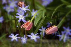 Striving Upwards (kaffealskare) Tags: fotosöndag fotosondag fs170416 vårkänslor springfeelings tulips tulpaner scilla skilla flowers blommor spring vår