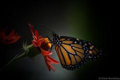 Danaus Plexippus - Monarch /Monarque (diane.bordeleau) Tags: papillons butterfly colorful coloré couleur color orange natute flower fleur fleurs flowers wildlife migration montreal monarque monarch