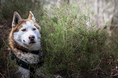 KOSTYA (marine.benchao) Tags: husky siberien family foret wood dog dogs hund puppy doggy cute veron eyes blue brown canon eos 80d 50mm f18
