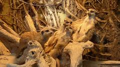 Chillende Erdmnnchen2 (rollirob) Tags: germany deutschland zoo tiere nrw tierpark dortmund erdmnchen panasoniclumixdmclx7