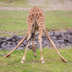 The challenge of being a giraffe (andiwolfe) Tags: columbuszoo columbus ohio zoo giraffe 2014 animalphotography october11 giraffebutt grazinggiraffe splayedforelegs eeobphotographyseminar