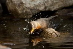 American Robin Showering (Turdus migratorius); Sandoval County, NM, Thompson Ridge [Lou Feltz] (deserttoad) Tags: mountain newmexico bird nature water robin behavior thrush songbird wildbird