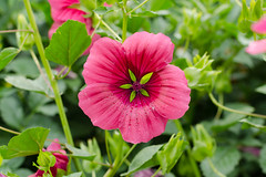 DSC_6857 (sir.yoga) Tags: flowers bratsk easternsiberia