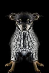 Jour 20 / le Mini Mle (EMEM Manuel Martinez) Tags: dog chien canada chihuahua animal animals project 50mm reflex montral f14 sony symmetry days qubec symmetrical 365 animaux numrique vtements assis longueuil a77 symtrie manuelmartinez 365daysproject alpha77 sonyalpha77 ememphotographie minimle
