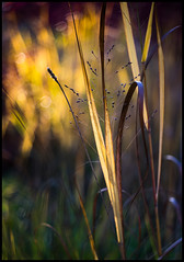 The Golden Light (Lens Bubbles) Tags: autumn zeiss colours bokeh sony ikoflex a7 f35 75mm tessar opton