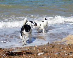 sam und joe (lockenkopf) Tags: frankreich sam joe normandie hunde rmelkanal