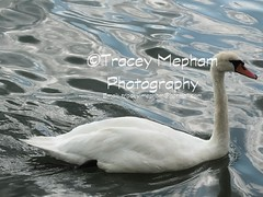 Swan 11 (traceymepham) Tags: orange white lake black reflection bird feet water birds yellow river photography foot swan stream waves adult ripple web lakes beak feathers feather wave andover swans rivers finepix fujifilm streams ripples tracey adults mute webbed beaks mepham hs30exr