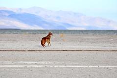 Antelope Island coyote (Great Salt Lake Images) Tags: coyote morning fall utah sandbar antelopeisland greatsaltlake ladyfinger